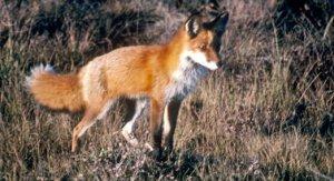 La tradicional caza de zorros con perros está prohibida desde febrero (Foto: U.S. Fish & Wildlife Service)