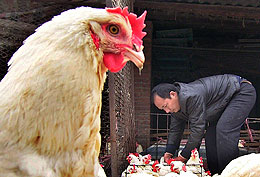 China gallina gripe aviar