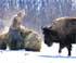 De nuevo, caza de bisontes