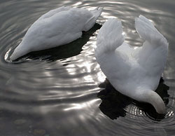 Dos cisnes se zambullen en un lago de Eslovenia, donde el domingo se encontró otro cisne muerto por gripe aviar (AP)