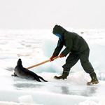 La piel de foca con disparos se paga más barata (Efe)