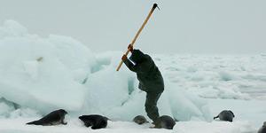 Los cazadores matan a las focas a golpes.
