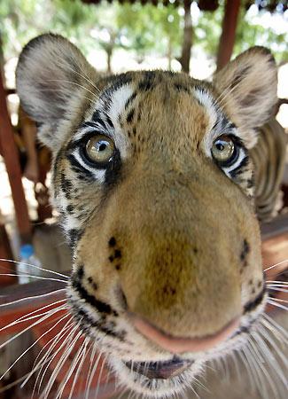180406 - Tigre tailand�s