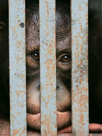 180406 - Orangutanes tailandeses