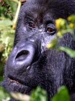 Los grandes simios se encuentran al borde de la extinci�n. (Reuters)