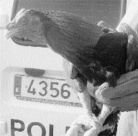 La Policía se topa en la calle con una pelea de gallos y con 30 mirones