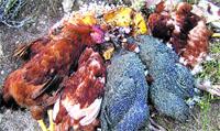 Descubren rituales de vudú cerca de Can Ruti