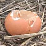 El huevo, anterior a la gallina seg�n 'The Times'. (Sierra de Baza)