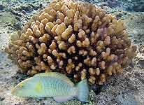 Reserva Hawai coral