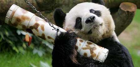 La población de osos panda podría 'triplicarse'