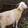 Desde 2000, no se arroja la cabra desde el campanario.  (Camping)
