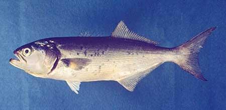 El pez golfar (Pomatomus saltatrix) no es una especie peligrosa.