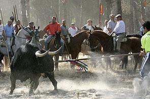 El torneo del Toro de la Vega, que se celebra el segundo martes de septiembre en Tordesillas, es un tradición del siglo XV. El toro es perseguido en la vega del río Duero por lanceros a caballo que tienen que matarlo. (Ricardo Suárez / EFE)