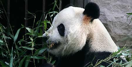 Gu Gu, el oso panda mordido
