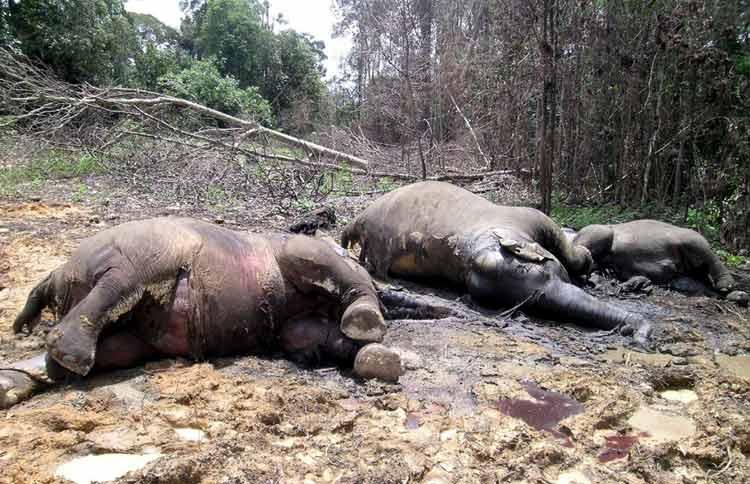 Elefantes envenenados