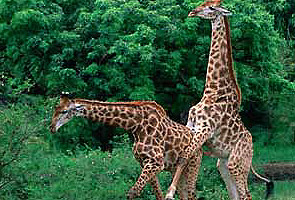 En contra de la naturaleza una exposici n sobre la homosexualidad animal invita a la - Imagenes de animales apareandose ...