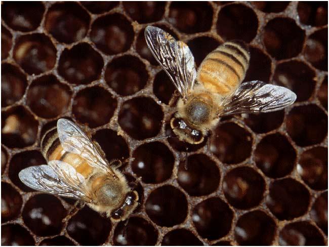 La abeja europea Apis Mellifera ha sido 'descifrada'.