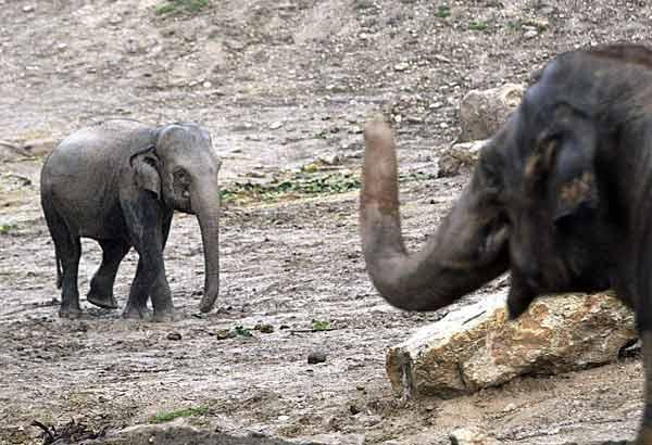 Petita a veces tiene que correr para evitar las agresiones de los machos (EFE)