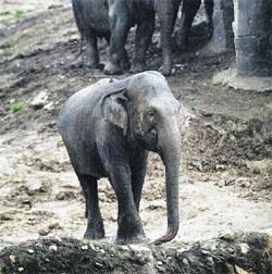 Acosan a una elefanta por flacucha y patilarga