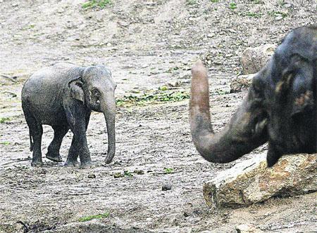 La 'patita fea' de las elefantas
