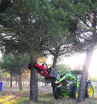 Epoca de recogida de pinones