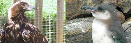 Un ejemplar de águila imperal y otro de pingüino de las Galápagos (FOTO: Wikipedia).