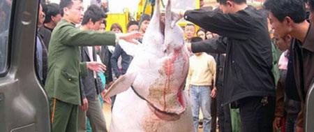 El delfín de aleta blanca, en peligro
