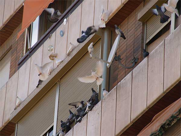 Denunciada por dar de comer 2 veces al d a a 50 palomas en for Ahuyentar palomas del balcon