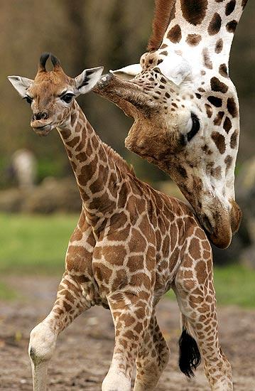291106 Jirafa madre enseña a andar a una cría