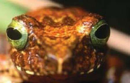 Rana con brillantes ojos verdes, encontrada en Borneo. (Reuters)