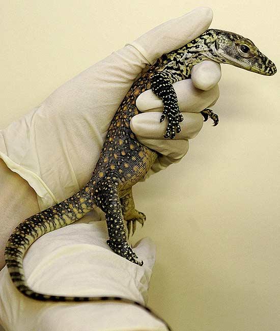 Cría de dragón de Komodo