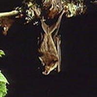 ¿Murciélagos violadores en Tanzania?