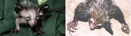 El aye aye, un animal en peligro de extinción por ser feo