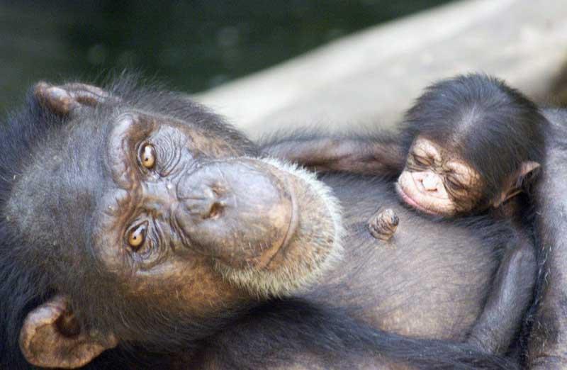 El hombre y el chimpancé