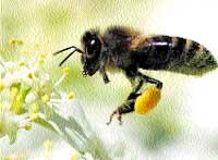 Los móviles podrían causar la desaparición de las abejas en EE UU