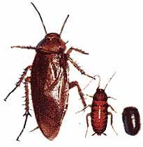 Ejemplar de cucaracha americana