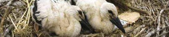 Dos cigüeñas en su nido, en el casco antiguo de Alcalá