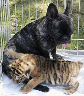 Bulldog Francés amamantando a un tigre de bengala