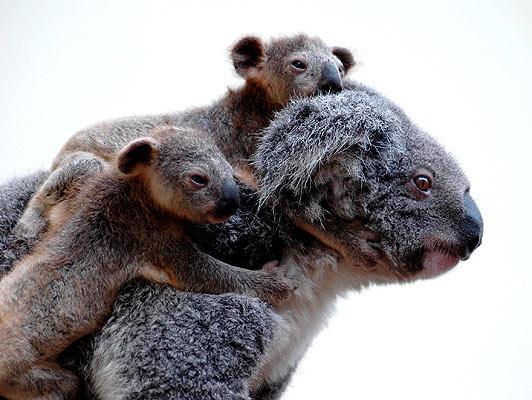 150507 Koalas con su madre