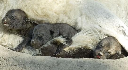 Nacen tres lobos blancos en el zoo.