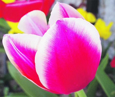 una nota de color con tulipanes