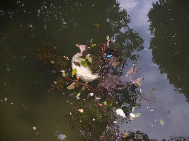 Uno de los patos que hallaron muertos en el estanque