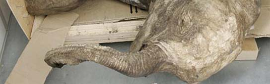 Un mamut prehistórico, descubierto en Siberia