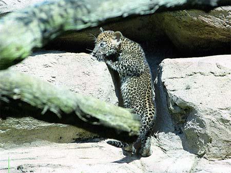 El primer leopardo de Sri Lanka andaluz
