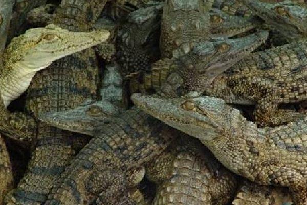 Cocodrilos en la granja Kariba.