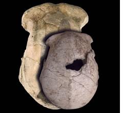 Cráneo de Homo erectus (NATURE).
