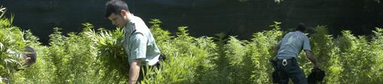 Un jardín de marihuana en Valdelaguna