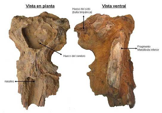 Fósil de ballena en Lepe