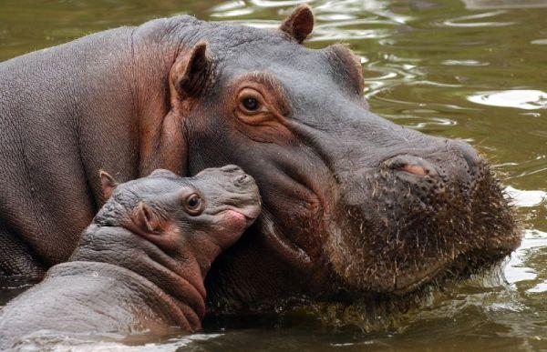 Hipopótamos en cautividad