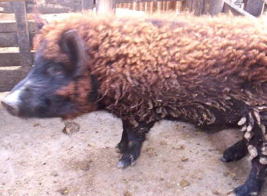 Cerdo con pelo de oveja